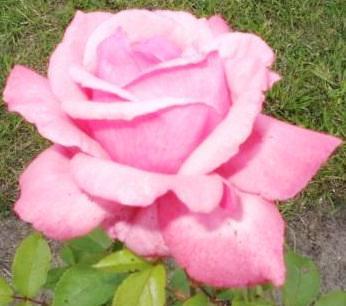 Eine edle Rose in einer leuchtend rosaroten Farbe. Foto: Eckart Kreitlow