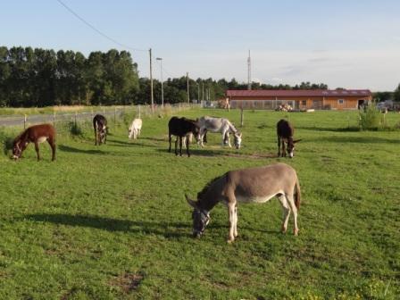 Esel der Tierpension Tannenberg in Klockenhagen bei Ribnitz-Damgarten beim Grasen. Foto: Eckart Kreitlow
