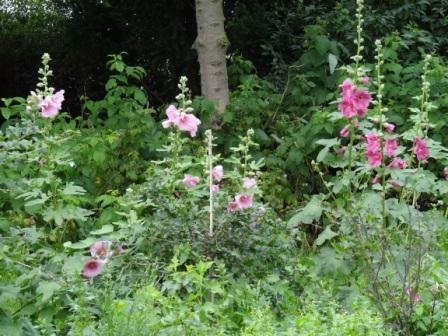 Malven sind schöne Gartenblumen, die als Pflanzengattung zur Familie der Malvengewächse gehören.