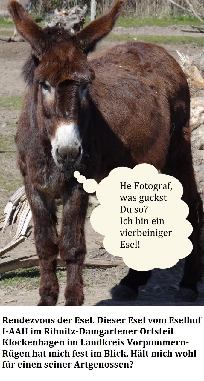 Der Eselhof I-AAH Klockenhagen befindet sich im Ortsteil Klockenhagen der Bernsteinstadt Ribnitz-Damgarten im Landkreis Vorpommern-Rügen - Link: https://www.eselhof-klockenhagen.de/ - Zurzeit ist er geschlossen -  Einer der fotografierten Esel schaute mich beim Fotografieren so an, als würde er sagen wollen, wenn er sprechen könnte: ' He Fotograf, was gucktst Du so? Ich bin ein vierbeiniger Esel!' - Wahrscheinlich hielt er mich für einen zweibeinigen Esel? Na ja, der Esel hätte sicher nicht ganz unrecht! - Ostsee-Rundschau.de -  Foto: Eckart Kreitlow