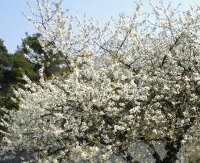 Ein prachtvoller Anblick alljährlich im Frühling: Wunderschöne Blüten an einem  Süßkirschenbaum. Foto: Eckart Kreitlow