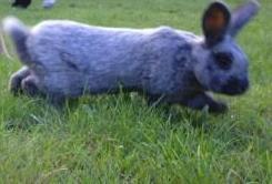 Kaninchen Hoppel