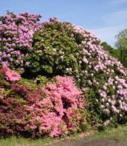 Wunderschöner Rhododendron im Rhododendronpark des Ostseeheilbades Graal-Müritz, Landkreis Rostock, in Mecklenburg-Vorpommern, der alljährlich zum Ende des Frühlings sehr prachtvoll erblüht. Foto: Eckart Kreitlow
