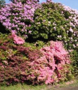 Alljährlich ist im Rhodendronpark des Ostseebadeortes Graal-Müritz  eine wunderschöne Blütenpracht zu bewundern. Foto: Eckart Kreitlow