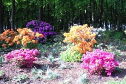 Alljährliche Blütenpracht im Rhododendronpark des Ostseebades Graal-Müritz. Foto: Eckart Kreitlow