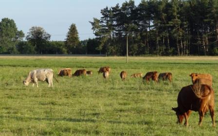 Kühe auf der Weide in der Nähe von Ribnitz-Damgarten. Foto: Eckart Kreitlow