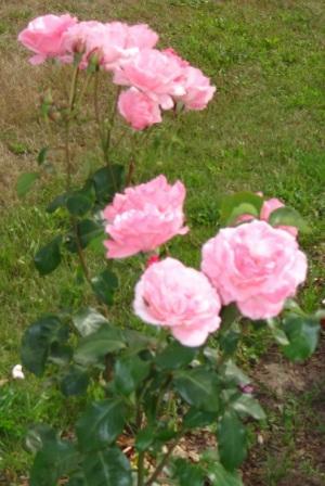Eine wunderschöne Rose.