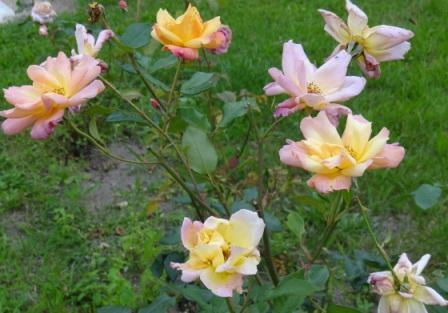 Rosen gehören zur Gattung der Rosengewächse. Die Blüten sehen sehr prachtvoll aus. Die Stacheln, umgangssprachlich auch als Dornen bezeichnet, an Stamm, Ästen und Zweigen sind hingegen sehr störend, vor allem bei den Pflegearbeiten. Foto: Eckart Kreitlow