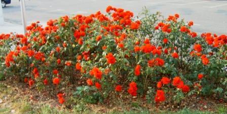 Rote Rosen in voller Blüte. Foto: Eckart Kreitlow