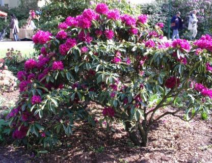 Wunderschöner roter Rhododendron im Rhododendron-Park in Ostseeheilbad Graal-Müritz. Foto: Eckart Kreitlow