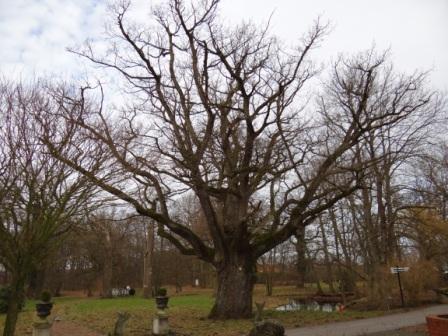 Eine unter Naturschutz stehende 700-jährige Eiche im Schlemminer Schlosspark in Mecklenburg-Vorpommern. Foto: Eckart Kreitlow