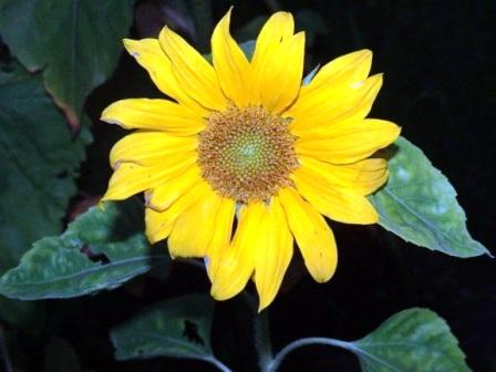 Wundersch�ne Sonnenblume. Foto: Eckart Kreitlow