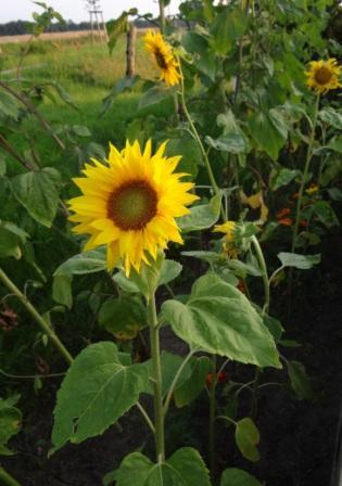 Wundersch�ne Sonnenblumen. Foto: Eckart Kreitlow