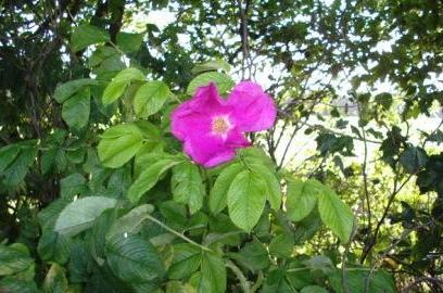 Eine wunderschöne Wildrose